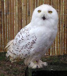 snowl-owl-post-arpingstone