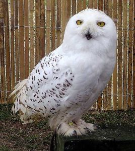 snowl-owl-post-arpingstone