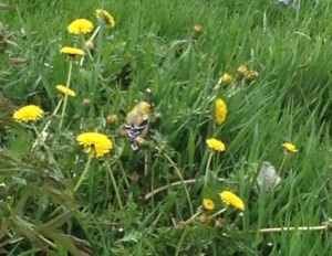 A picture of a goldfinch I took. All rights reserved.